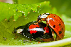 Love bugs Stock Photography