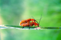 Love - bugs copulating stock image