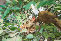 Love bulbul feeding a baby Stock Photos