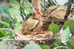 Love bulbul feeding a baby Stock Image