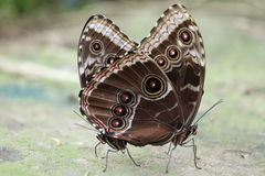 Butterflies in love. Insect reproduction butterflies Stock Photography