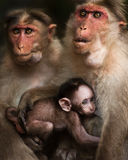 Family portrait of macaque monkeys. Love care maternity concept. Family portrait of macaque monkeys in wild. Small baby breast feeding and two adult rhesus Stock Images