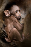 Portrait of small baby monkey Stock Images