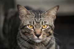 The love of the cat in the face,Portrait of a cat. While sitting Royalty Free Stock Photography