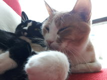 Cats In love. 2 cats deeply in love Royalty Free Stock Photography