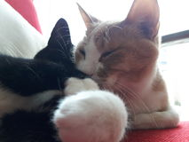 Cats In love. 2 cats deeply in love Royalty Free Stock Photos