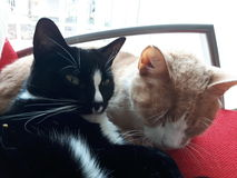 Cats In love. 2 cats deeply in love Royalty Free Stock Images
