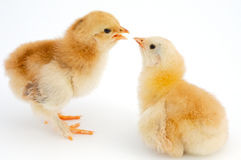 Love between chickens Stock Image