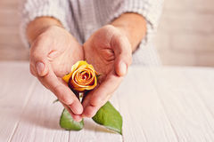Love concept. Man holding orange rose in heart shaped hands. Valentine`s postcard Royalty Free Stock Photos