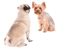 Love concept - two sitting dogs isolated on white Stock Images