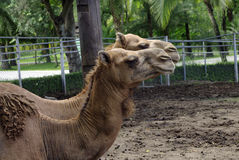 Love couple Camels in the zoo Royalty Free Stock Photos