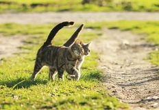 Love couple cats walking on the bright green meadow in Sunny spr. Ing garden Stock Photos