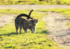 Love couple cats walking on the bright green meadow in Sunny spr. Ing garden Royalty Free Stock Image
