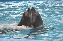 In love couple of smiling cute dolphins in the water. Pair marine animals in the aquarium. Day of protection of mammals Stock Photos
