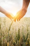Love couple taking hands and walking on golden wheat field over beautiful sunset. stock images