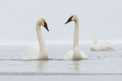 Love courting. Two trumpeter swans courting each other royalty free stock photo