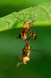 Love of Crane flies. A pair of Crane flies mating in early morning Royalty Free Stock Photo