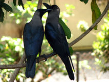 Love Crows. A couple of Indian crows sitting together Royalty Free Stock Photo