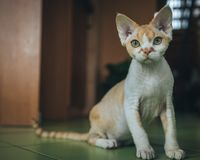 Love for Devon Rex. A photograph of a beautiful and lovely, one of the most faithful and intelligent - Devon Rex cat Royalty Free Stock Photography