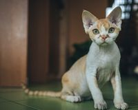 Love for Devon Rex. stock images