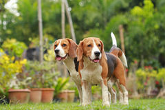 Love between dogs, Friendship between two beagle dogs Stock Images