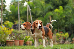 Love between dogs, Friendship between two beagle dogs Royalty Free Stock Photography