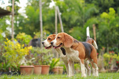 Love between dogs, Friendship between two beagle dogs Stock Photos