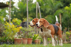 Love between dogs, Friendship between two beagle dogs Stock Image