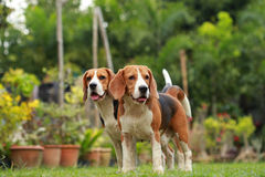 Love between dogs, Friendship between two beagle dogs Royalty Free Stock Photo
