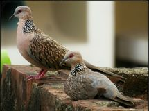 Love Doves. A dove couple relaxing stock images