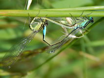 Love between Dragonfly's Royalty Free Stock Photo