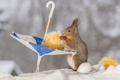 Love for eggs. Close up of red squirrel standing  in snow with a umbrella with eggs and chick Stock Images