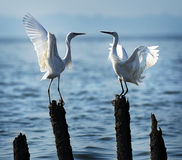 Love egrets. Shenzhen Bay Mangrove two love egrets Royalty Free Stock Photos