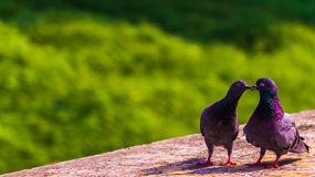 Pigeons in love Stock Image