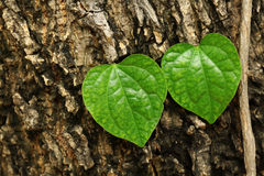 Love is every where. Heart-like leaves on the trunk of the tree Royalty Free Stock Images