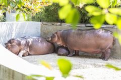 Love in a family of hippos Stock Photos