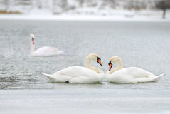 Love and fidelity of the swans. Two is company, but three is none Stock Photography