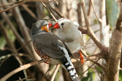 Love Finches Royalty Free Stock Image