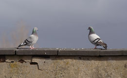 Love at first sight. Two pigeons meet across a cloudy sky stock images
