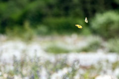 Love flyi of butterfly on grass background Royalty Free Stock Image