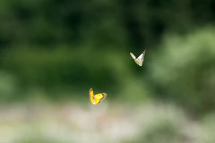 Love flyi of butterfly on grass background Stock Image