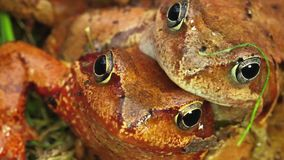 Love frogs stock footage