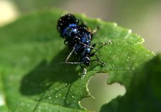Love games are blue beetles. Because spring came and nature thinks about the future royalty free stock photo