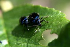 Love games are blue beetles. Because spring came and nature thinks about the future stock photos
