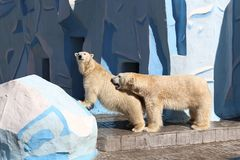 Love games in the family of polar bears. Novosibirsk, RUSSIA - APRIL 13, 2017: Mating polar bears in the zoo on a spring day stock images