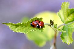 Love games of the ladybugs couple royalty free stock images
