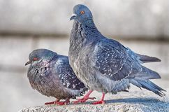Love games in pigeons. At the end of March the pigeons find their mates and stay together for a long time stock image