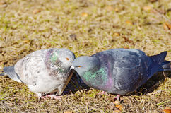 Love games in pigeons. At the end of March the pigeons find their mates and stay together for a long time stock photos