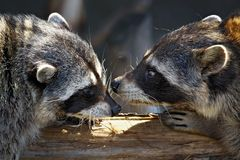 Love games of raccoons. Love marriage games of raccoons-young animals in spring stock photo