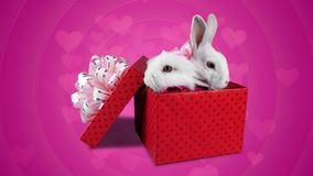Love gift on Valentines day, two cute rabbits with pink bows. Pink background stock video